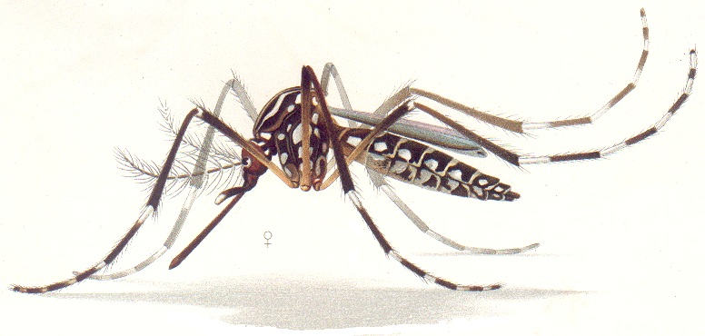 Aedes_aegypti_resting_position_E-A-Goeldi_1905